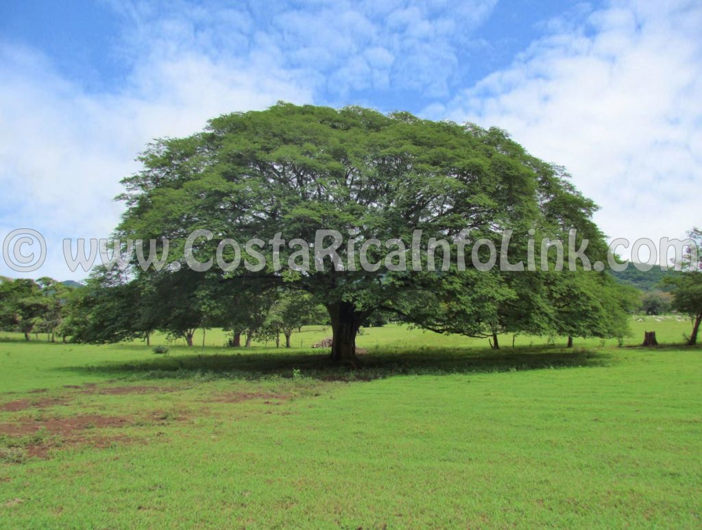 Guanacaste - Costa Rica's National Tree