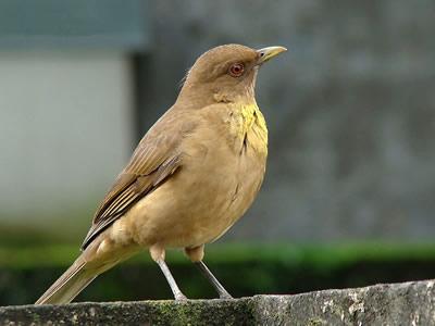 Yigüirro, Ave Nacional de Costa Rica