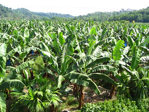 Plantaciones de Banano en Limón, Costa Rica