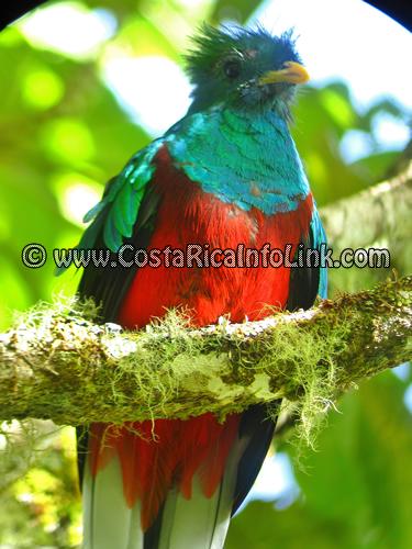Quetzal en la Reserva Biológica de Bosque Nuboso Monteverde, Puntarenas, Costa Rica