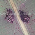 Murcielagos en Rafiki Safari Lodge Costa Rica
