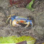 Crab - Almonds & Corals Hotel Costa Rica